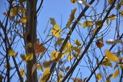 Folhas amarelas do álamo tremedor imagens de stock