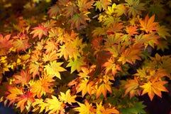 Folhas amarelas do bordo Imagem de Stock
