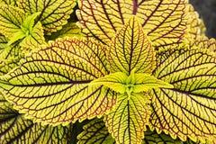 Folhas amarelas do coleus Imagem de Stock
