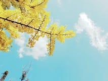 Folhas amarelas do ginkgo foto de stock royalty free