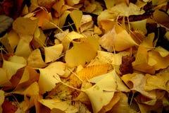 Folhas amarelas do ginkgo Imagens de Stock Royalty Free