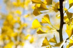 Folhas amarelas do ginkgo do outono de encontro ao céu Fotos de Stock