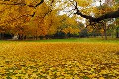 Folhas amarelas do mapple Imagem de Stock