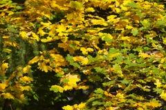 Folhas amarelas e verdes fotos de stock royalty free
