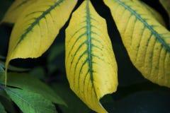 Folhas amarelas e verdes em Highland Park Rochester New York foto de stock