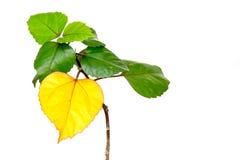 Folhas amarelas e verdes frescas bonitas isoladas no backgr branco Foto de Stock