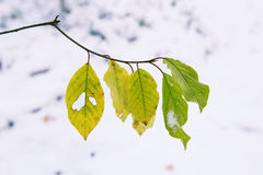 Folhas amarelas e verdes no galho e na primeira neve Fotos de Stock