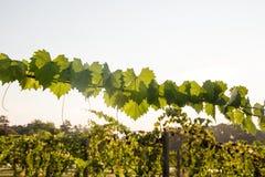 Folhas apresentando da vinha do Muscadine Imagens de Stock Royalty Free