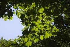 Folhas através do céu imagens de stock