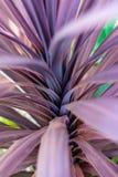 Folhas australásias da planta do cavaleiro preto do Cordyline fotos de stock royalty free
