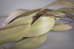 Folhas australianas do eucalipto Imagem de Stock