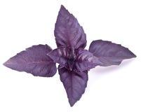 Folhas azuis da manjericão isoladas em um branco imagens de stock royalty free