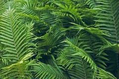 Folhas azul esverdeado de uma samambaia, close-up Fotos de Stock