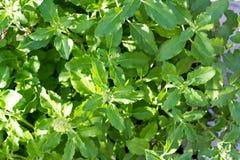 Folhas basílicas orgânicas frescas Fim acima Imagens de Stock Royalty Free