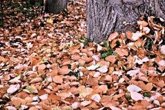 Folhas bonitas da coleção no parque do outono Foto de Stock