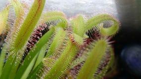 Folhas bonitas da drósera Fotos de Stock