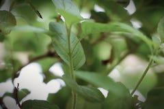 Folhas bonitas da planta santamente da manjericão imagens de stock royalty free