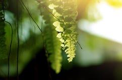 Folhas bonitas da samambaia, fundo na luz solar imagem de stock