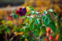 Folhas bonitas da urze no fundo Imagens de Stock Royalty Free