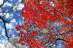Folhas bonitas de Momiji do bordo vermelho em Nikko fotografia de stock