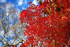 Folhas bonitas de Momiji do bordo vermelho em Nikko fotos de stock