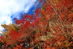 Folhas bonitas de Momiji do bordo vermelho em Nikko fotografia de stock royalty free