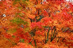 Folhas bonitas de Momiji do bordo vermelho em Nikko imagens de stock royalty free