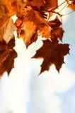 Folhas bonitas do autum de encontro ao céu Imagens de Stock