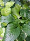 Folhas bonitas do hosta Fotografia de Stock Royalty Free