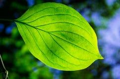 Folhas bonitas do verde Fotografia de Stock Royalty Free