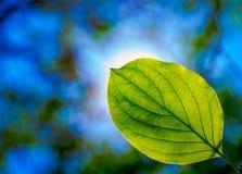 Folhas bonitas do verde Foto de Stock Royalty Free
