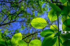 Folhas bonitas do verde Imagem de Stock Royalty Free