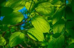 Folhas bonitas do verde Imagem de Stock