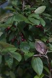 Folhas bonitas do verde e obscuridade - bagas vermelhas Bush com bagas Fotografia de Stock Royalty Free
