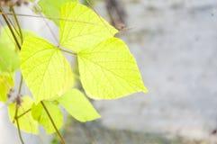 Folhas bonitas do verde que penduram com fundo raso Imagem de Stock Royalty Free