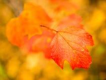 Folhas bonitas em uma árvore no outono Fotografia de Stock