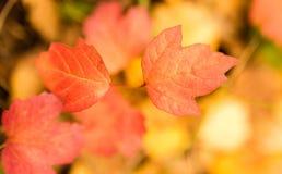 Folhas bonitas em uma árvore no outono Foto de Stock Royalty Free