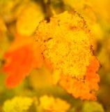 Folhas bonitas em uma árvore no outono Fotografia de Stock Royalty Free