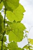 Folhas brancas da uva para vinho Imagem de Stock Royalty Free