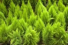 Folhas brilhanteas do verde Fotos de Stock