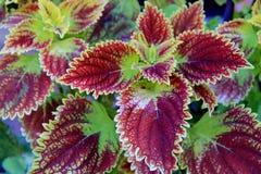 Folhas brilhantes da planta do Coleus Imagens de Stock