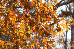 Folhas brilhantes da queda Foto de Stock Royalty Free