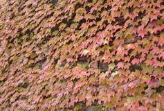 Folhas brilhantes da uva vermelha Imagens de Stock Royalty Free