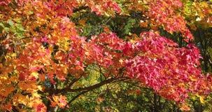 Folhas brilhantes e coloridas em ramos de árvore no tempo do outono video estoque
