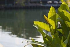 Folhas brilhantes grandes verdes de uma planta pelo rio Bacgkround é macio e pode ser usado para o texto Imagens de Stock