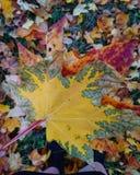Folhas brilhantes outono, outubro Fundo Folha de plátano isolada imagem de stock