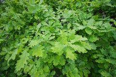 Folhas brilhantes verdes do carvalho Imagem de fundo Imagem de Stock Royalty Free