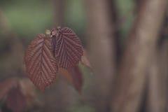 Folhas côr de avelã Fotografia de Stock Royalty Free