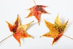 Folhas caídas coloridas Fotografia de Stock