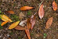 Folhas caídas da magnólia Imagem de Stock Royalty Free